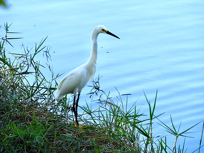 6_24_18 Egret by the lake