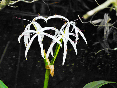8_2_18 Swamp Lily
