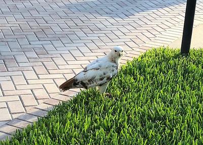 8_8_18 White Hawk