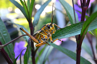12_17_18 Adult Grasshopper