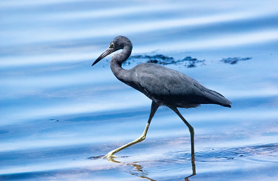 12_8_18 Little Blue Heron Fort DeSoto