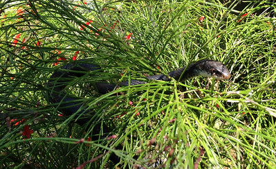 12_7_18 Snake lurking in the Firecracker bush