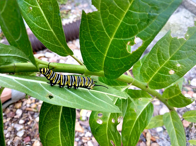 7_2_18 Monarch Caterpillar on Milkweed