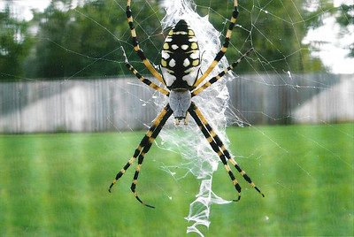 7_9_18 Window Screen Spider