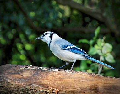 11_26_18 Blue Jay in Garden