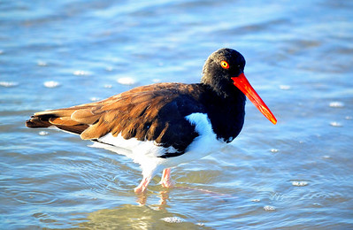 11_21_18 Oystercatcher hunting at sunrise