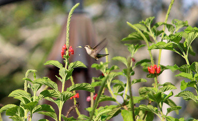 11_30_18 Hummingbird on Coral Porterweed