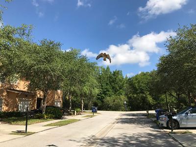 11_14_18 Hawk soaring overhead