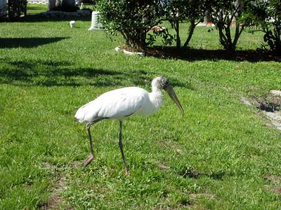 11_20_18 Endangered Wood Stork