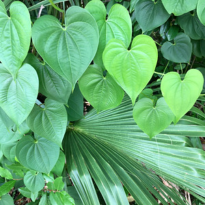11_13_18 Pretty heart shaped leaves