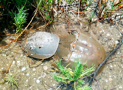10_9_18 Pair of Horseshoe crabs