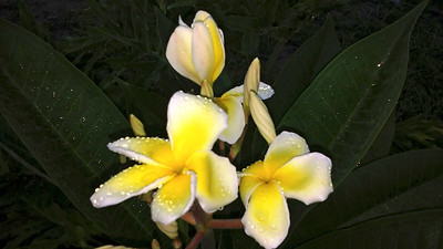 10_10_18 Yellow Plumeria blooms with morning dew