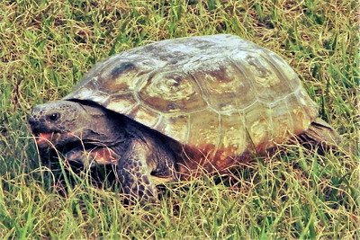 10_27_18 Gopher Tortoise