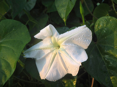 10_5_18 Moon Flower following a shower