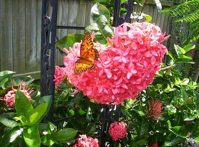 10_3_18 Butterfly on a heart_shaped Ixora blossom