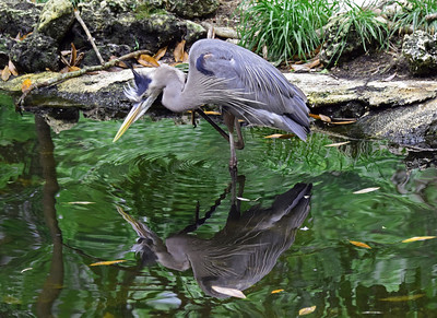 9_21_18 Wading Great Blue Heron