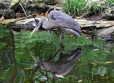 9_21_18 Wading Great Blue Heron