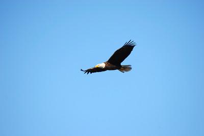 9_10_18 Bald Eagle