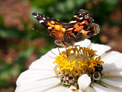 9_16_18 Virginia Lady nectars on zinnia