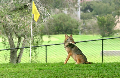 9_6_18 Golf Course Coyote