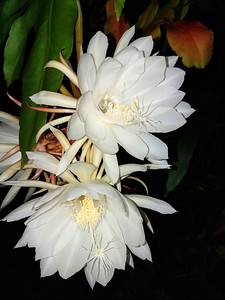 9_3_18 Night Blooms