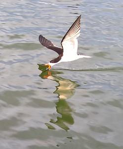 9_15_18 Skimmer fishing for dinner