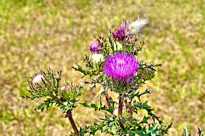 9_26_18 Beautiful Thistle Bloom