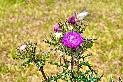 9_26_18 Beautiful Thistle Bloom