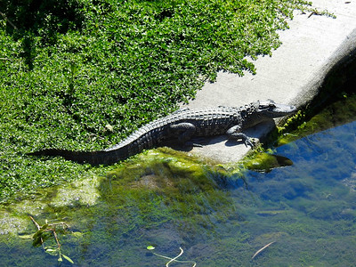 Basking Alligator