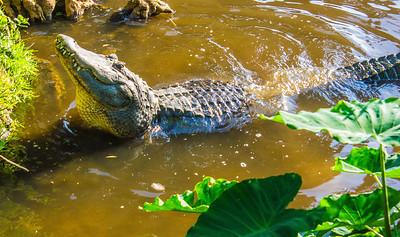 Alligator doing mating call
