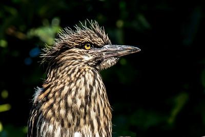 Chick - Black-crowned Night Heron