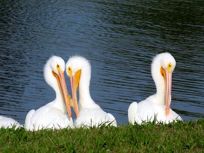 3 White Pelicans