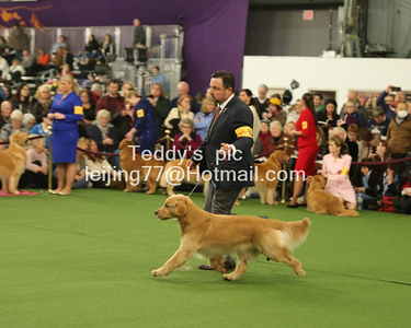 2018 WKC Golden retriever