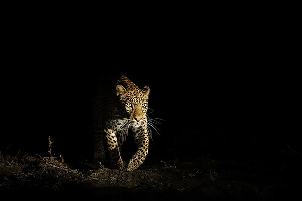 Leopard Emerging Out Of The  Shadows