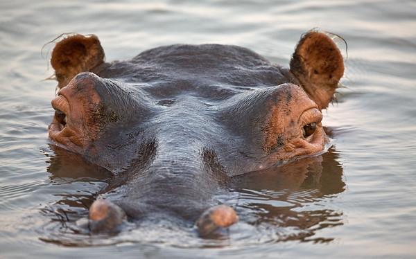 Hippo Emergence