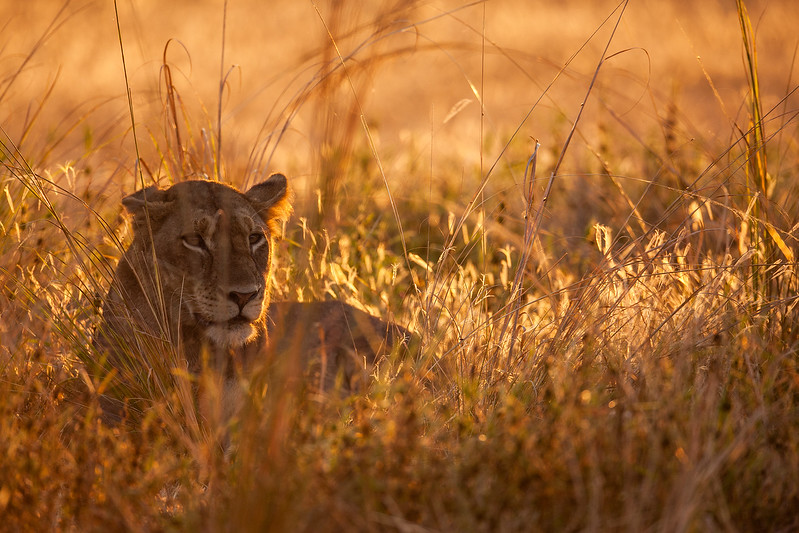 Lioness in Fading Light
