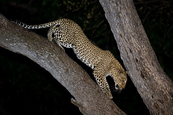 Male Leopard Descending Tree