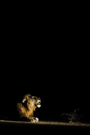 Male Lion Roaring At Night