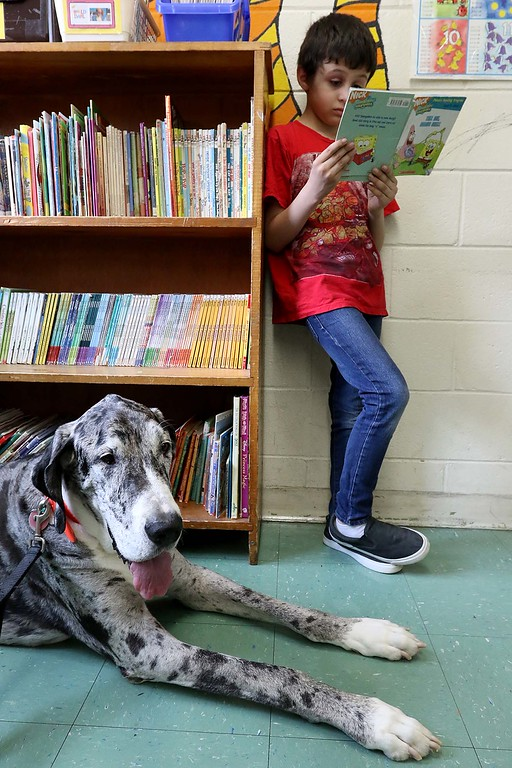 . Fiona a Great Dane visited Angela Gill\'s Special Education classroom at Reingold Elementary School on Friday morning with her owner Helen Donlan. Fiona sits by as Alex reads during class. SENTINEL & ENTERPRISE/JOHN LOVE