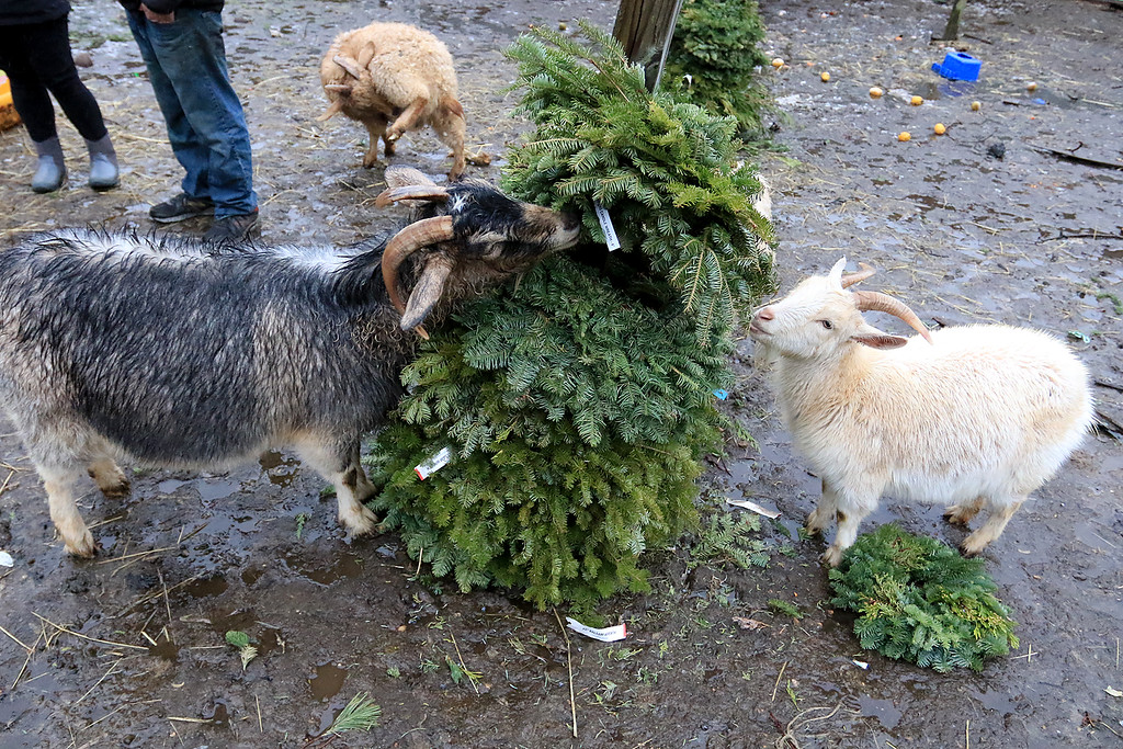 . The Townsend farm Shay\'s Showbirds Flock of Fun Farm excepts Christmas trees to help feed their goats. a couple of the the farms goats eating some donated wreaths at the farm on Friday afternoon December 28, 2018. SENTINEL & ENTERPRISE/JOHN LOVE