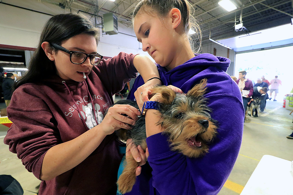 . A vaccinations and microchipping for your pet was held at the Leominster Emergency Management building on Saturday, September 29, 2018. Veterinary Technicians Liz Amato, r, and Arelle Lacaire give Rolly a silky terrier from Fitchburg his microchip. SENTINEL & ENTERPRISE/JOHN LOVE