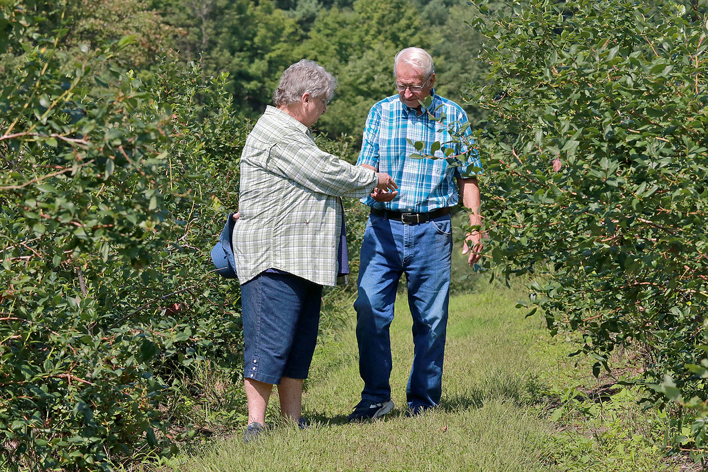 . Doug and Jo Ann Helenius, who own Odd Pine Farm in Ashburnham, just finished its pick your own blueberry season and is planning for its 60th anniversary next year. Doug and Ann walk among their blueberry bushes. SENTINEL & ENTERPRISE/JOHN LOVE