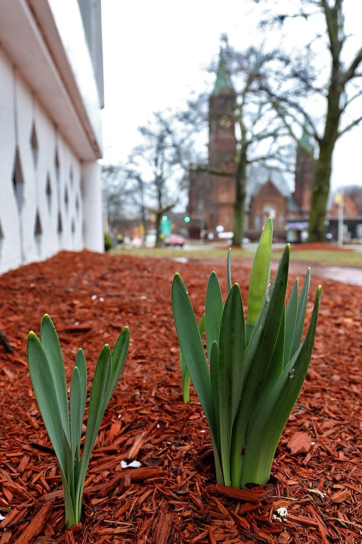 . April showers are bringing early May flowers to the upper common in Fitchburg next to the bandstand on Wednesday afternoon. SENTINEL & ENTERPRISE/JOHN LOVE