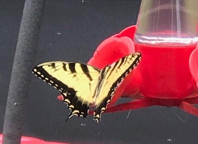 2018 monarch Butterfly