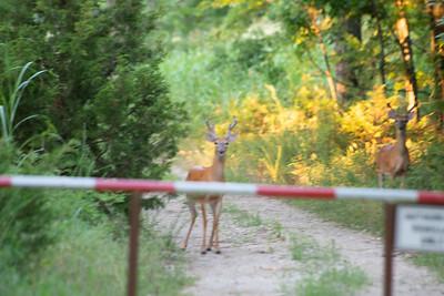 07-09-2018 Deer/butterfly Elk City Lake
