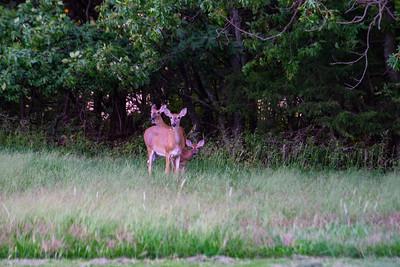 8-27-2018 deer at Elk City