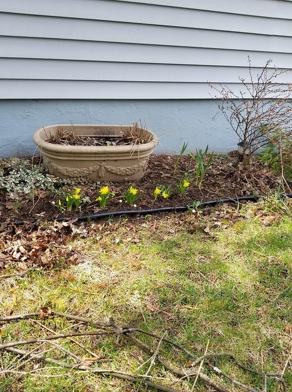 . Daffodils in bloom, photo taken by Nancy Jane Crane