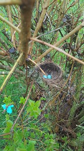 A robins nest, photo taken by Jeri Dustin McDonough.