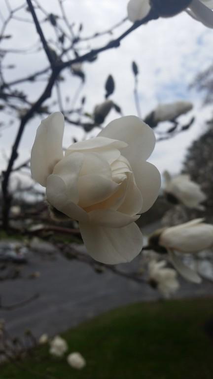 . Apple blossoms in bloom, photo taken by Sharon Copeland Joslyn.