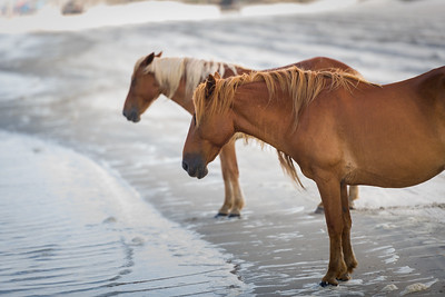 Apparently, some mustangs like standing at the water's edge watching the waves roll in to the beach.